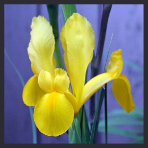 Iris bloom flower