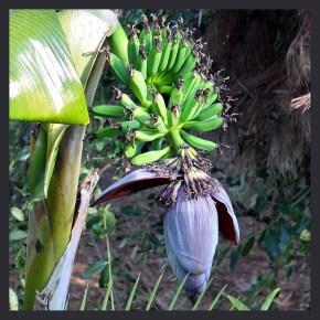 tropical fruits in california garden