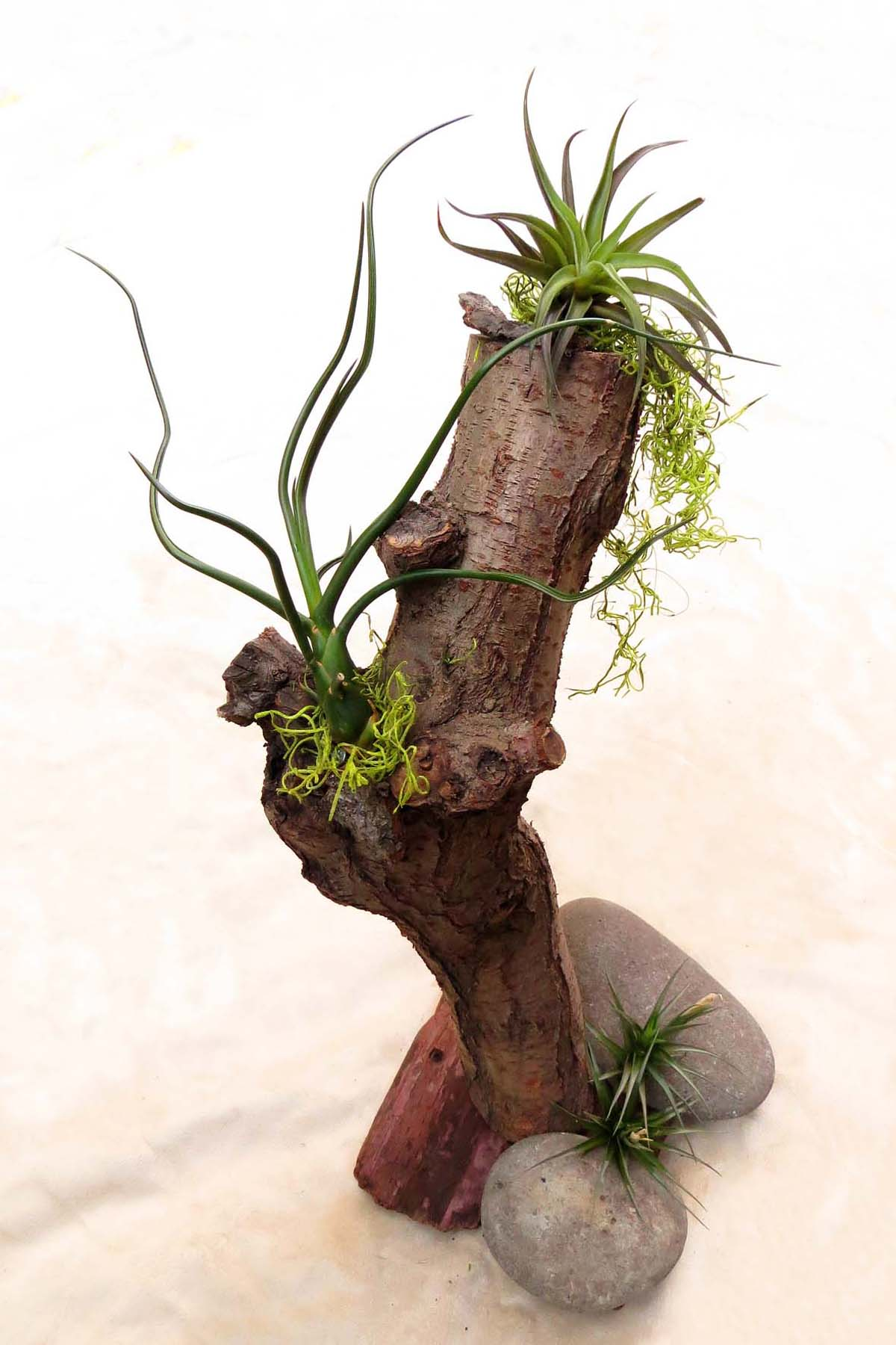 7 ways to display air plants jesse garden for Air plant holder ideas