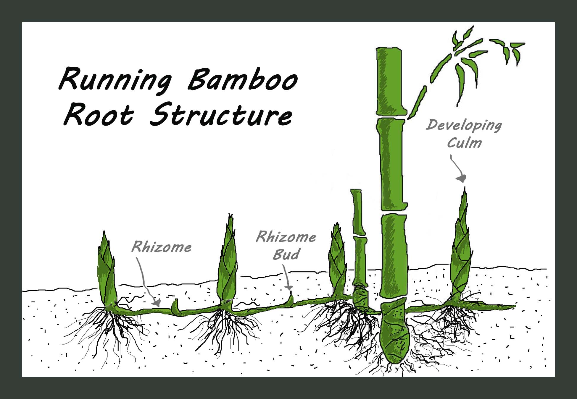 Bamboo root reduces soil erosion